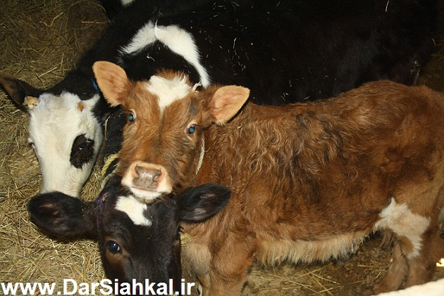 damdari_dar_siahkal (14)