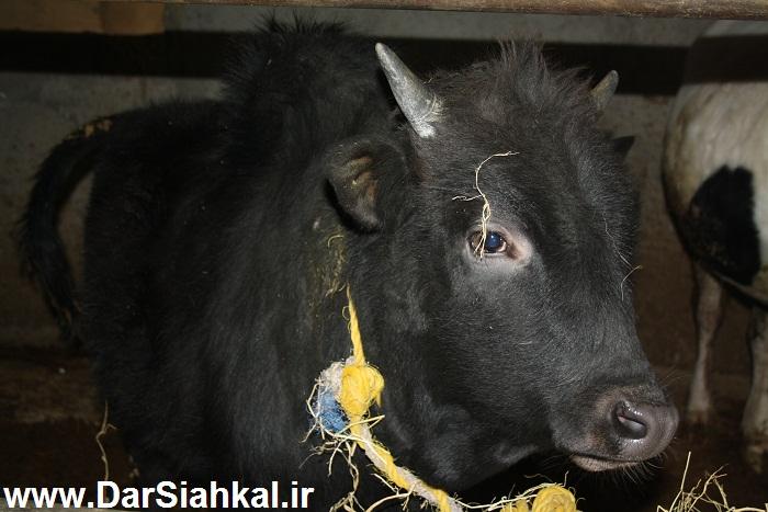 damdari_dar_siahkal (8)
