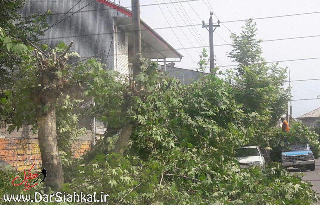 قطع درخت چنار (۳)
